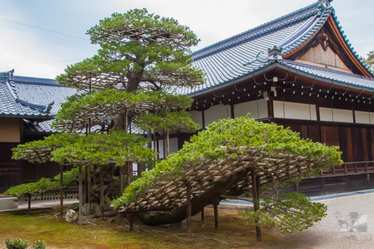 A large bonsai tree in front of a shrine near the Golden Pavilion in Kyoto, Japan.